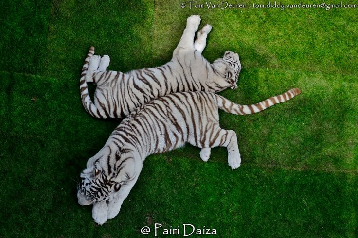 https://flic.kr/p/vLWmq7 | Witte Bengaalse tijger - Panthera Tigris tigris…