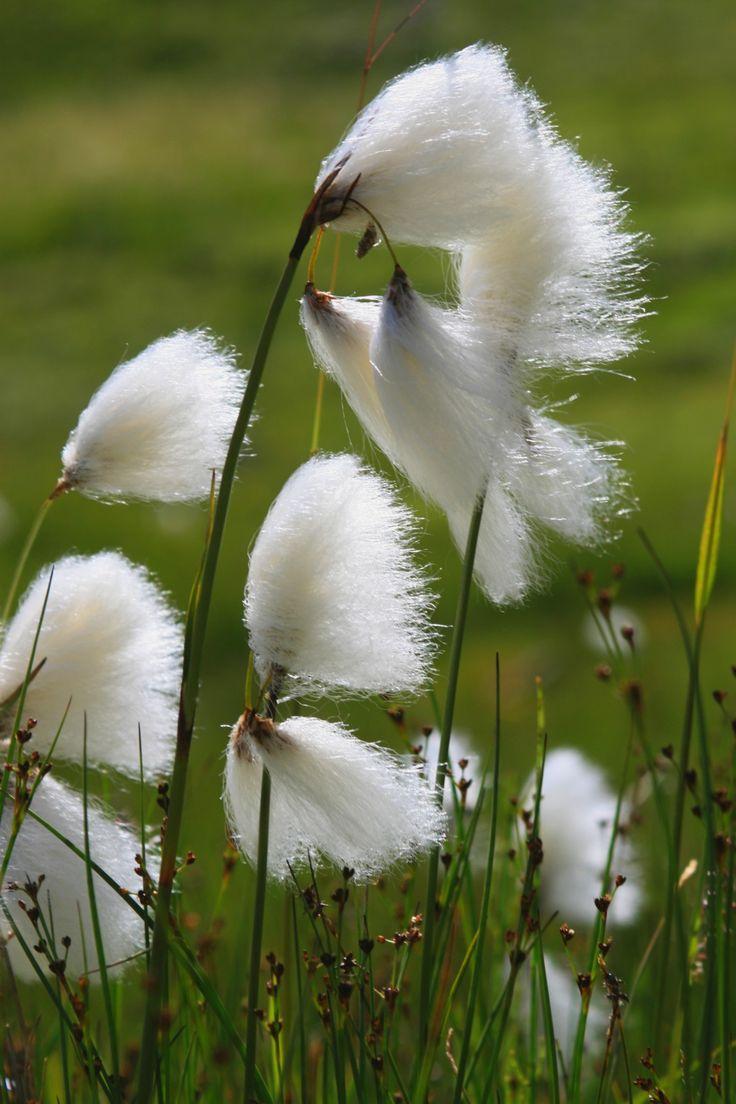 Flore - La Linaigrette de Scheuchzer - Linaigrette à feuilles étroites (Eriophorum angustifolium)