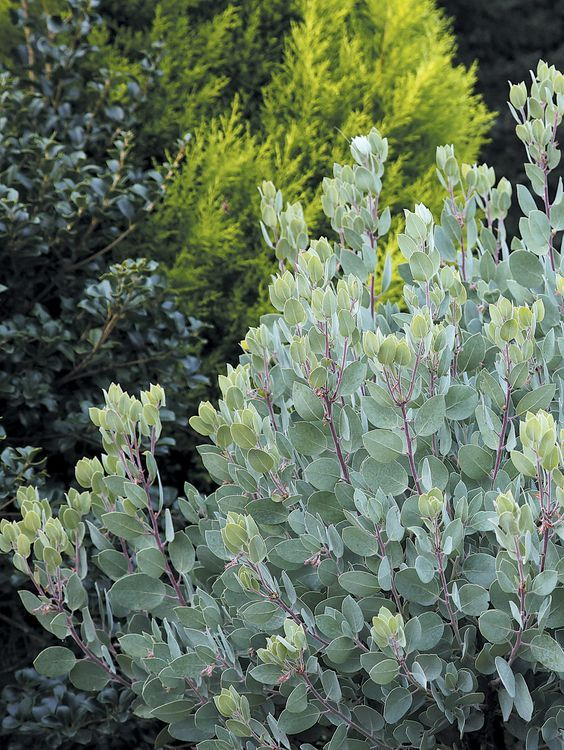 Arctostaphylos canescens subsp. sonomensis in a garden with Osmanthus and Cupressus macrocarpa 'Wilma Goldcrest' - See more at: http://www.pacifichorticulture.org/articles/arctostaphylos-for-pacific-northwest-gardens/#sthash.cFQDub9E.dpuf