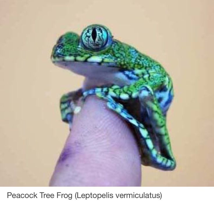 4704 best FROGS!!!! images on Pinterest | Frogs, Amphibians and Lizards