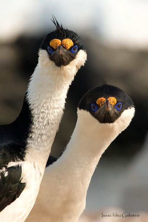 """* * COMORANTS: """"Middle age be when yer with soes many other birds dat everys new one reminds yoo of someone else ! """""""