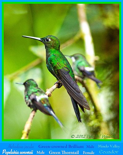 GREEN-CROWNED BRILLIANT (hummingbird) MALE Heliodoxa jacula (center) Dwarfs two GREEN THORNTAILS (hummingbirds) Popelairia conversii, a MALE (at left) and FEMALE (at right) near Los Bancos, ECUADOR. Hummingbird Photo by Peter Wendelken.