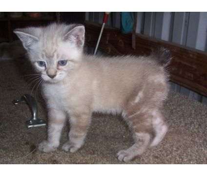 Manx Kittens is a Female Manx Kitten For Sale in Dairy OR
