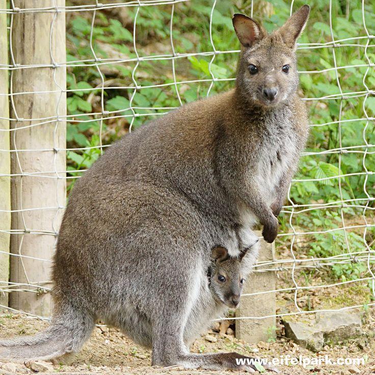 Wallaby-Kängurus  #wallaby #känguru #eifelpark