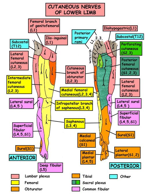 Instant Anatomy - Leg - Nerves - Cutaneous supply general