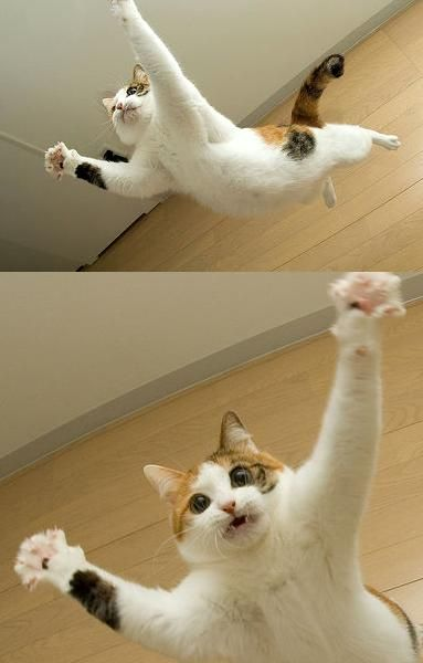 sky high: Fly Cat, Awesome Pics, Fly Squirrels, Super Cat, Funny, Cat Jumping, Crazy Cat, Kitty, Animal