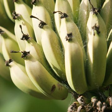 79 best bananas images on Pinterest Bananas Banana plants and