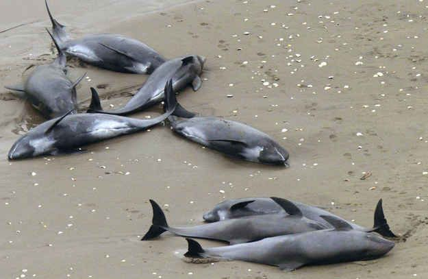 Nearly 150 Dolphins Die In Mass Beaching On Japan's Coast - BuzzFeed News