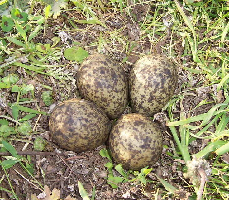 20 best egg prints images on pinterest egg as food