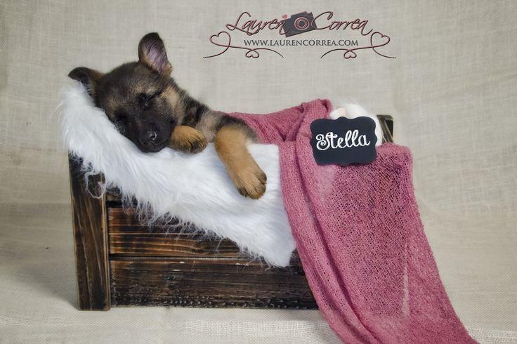 German Shepherd puppy 8 weeks old
