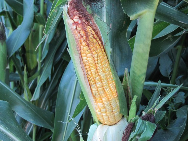Corn kernels are starting to dent which means they are reaching maturity. Photo taken September 2, 2013