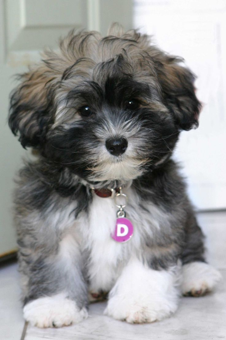 #vetsswale The Havanese does well in a variety of homes, from apartments to large homes with yards — as long as he's an indoor dog. This breed isn't suited for life in the backyard. He is happiest when he is with his family.