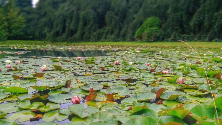 Waterlelies // Water Lily // Nymphaea #flowers #bloemen #natuur #nature #roze #wit #groen #green #white #pink #pond #vijver #lily #lelie http://misstagram.com/ipost/1550667696324872904/?code=BWFFA3UHgrI
