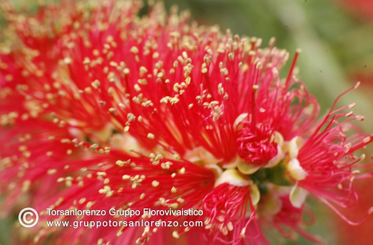 #callistemon. Can't resist front this #beautiful & #lovely #picture