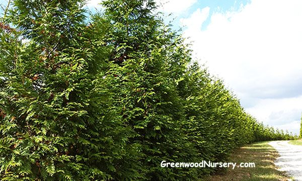 Privacy Trees | Living Fence Trees | Tree Hedges | Thuja Green Giants | What a driveway!! via GreenwoodNursery.com