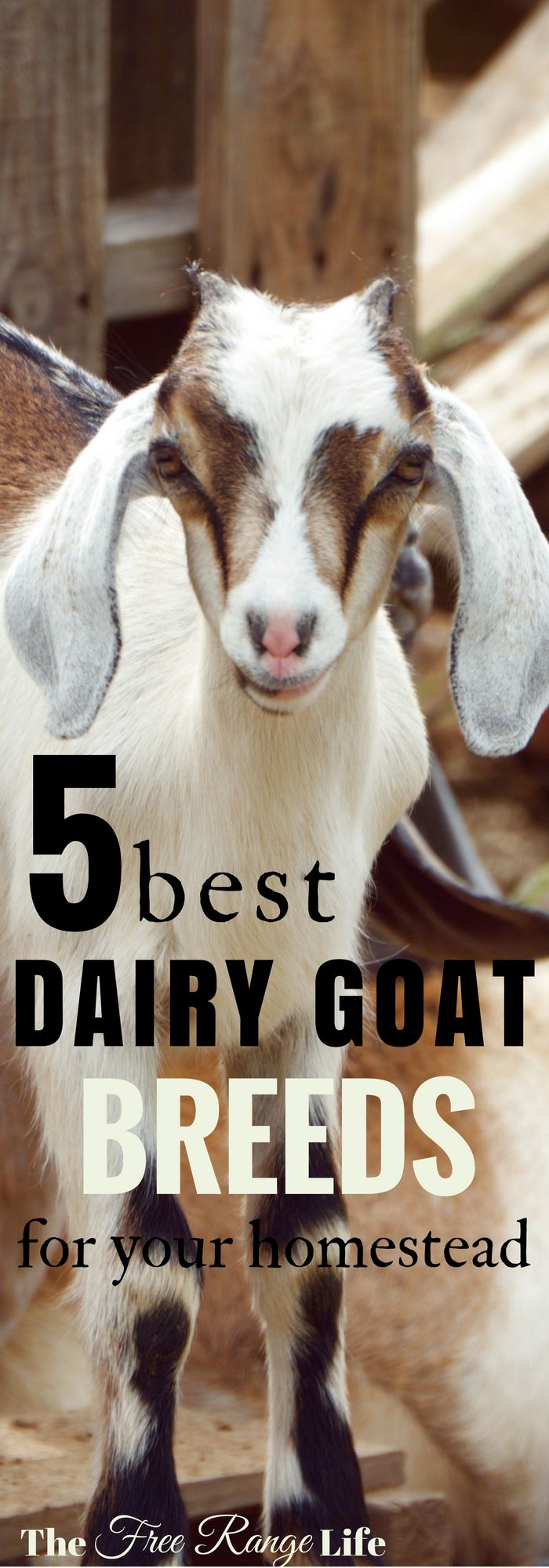 5 Best Dairy Goat Breeds for Your Homestead! Do you need a smaller goat for a smaller farm? One that gives a lot of rich milk? Find out which dairy breed is right for you!