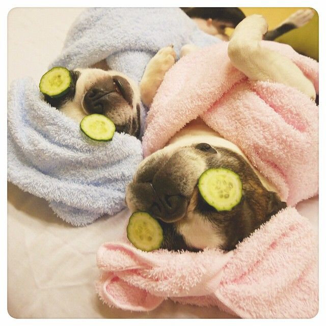 preparing for a date #pugs