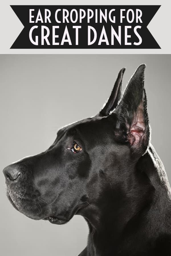 Great Dane Ear Cropping Great Dane Great Dane Breed Dane