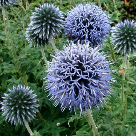 Echinops ritro Veitch-s Blue - RoyalPlant.ro