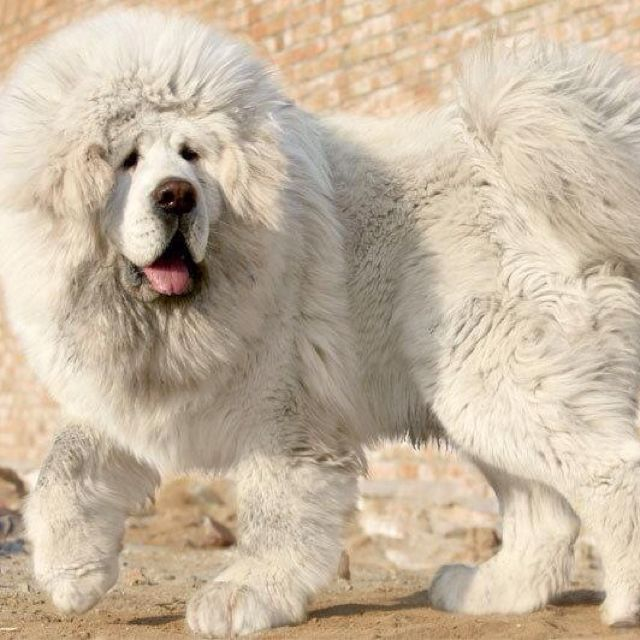 White Tibetan Mastiff.        We had one of these when I was about 5 yrs old!