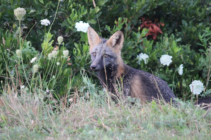 Fox from colony on the North Shore near Cavendish - PEI. 2015
