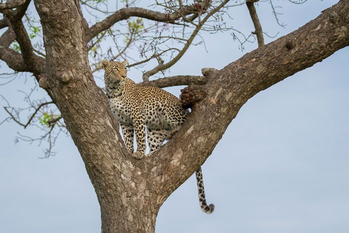 The Nanga female in the fork of a marula tree. Photograph by James Tyrrell
