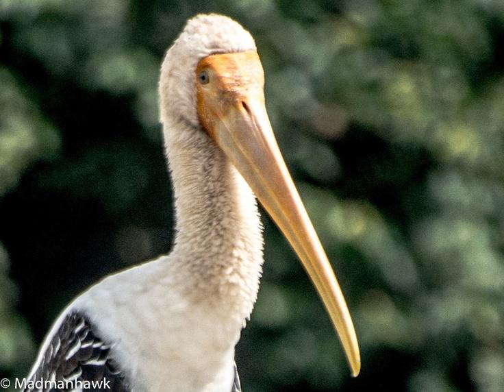 The majestic stork