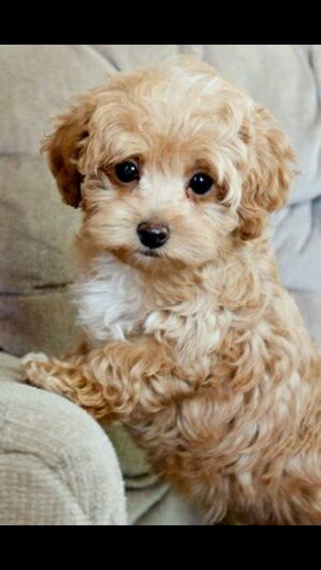 Smallest Toy Dog Breeds : Best ideas about toy maltipoo on pinterest