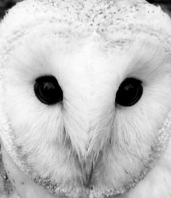 Snow White Owl - love this photo