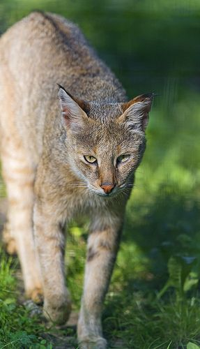 Walking jungle cat (Felis chaus)