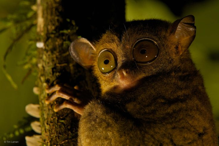 Night eyes. Photograph by Tim Laman. Horsfield's tarsier (Cephalopachus bancanus) in Malaysia's Danum Valley Conservation Area.