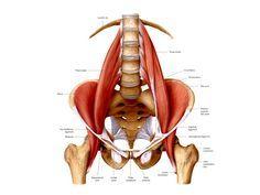PSOAS, der Muskel der Seele - ein wertvoller Artikel für alle YogalehrerInnen und YogaschülerInnen – mein.yoga-vidya.de - Yoga Forum und Community                                                                                                                                                                                 Mehr