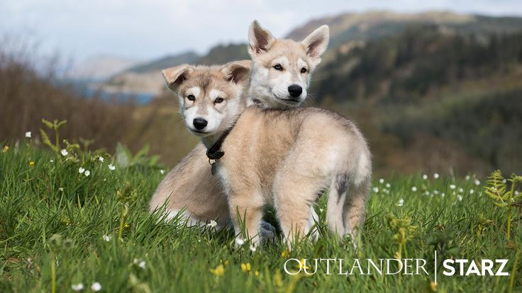 """""""It was a """"ruff"""" job, but we've found our cutest new clan members! Meet the pups who will play Young Ian's dog Rollo in Season 4! #Outlander"""""""