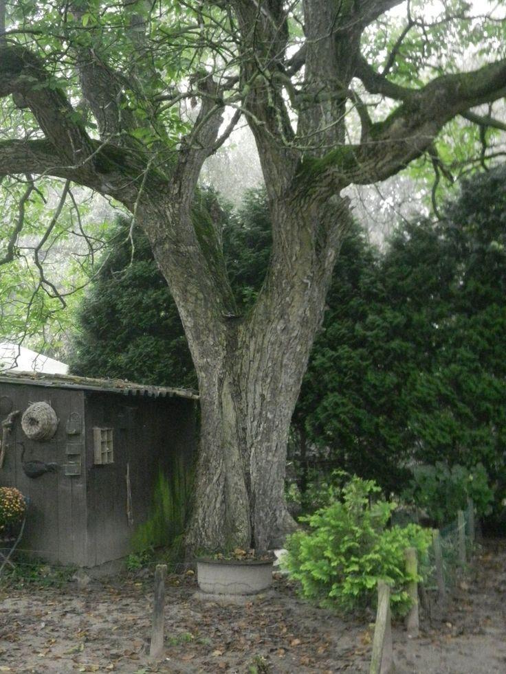 Monumentale boom (walnoot) aan de Braambergseweg (1890-1900). Fotograaf: Jan Lindhout.