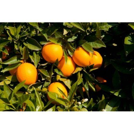 Oranges on a tree Santa Paula Ventura County California USA Canvas Art - Panoramic Images (36 x 24)