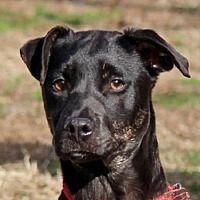 Yardley, Pennsylvania - Catahoula Leopard Dog. Meet Gina B, a for adoption. https://www.adoptapet.com/pet/20812097-yardley-pennsylvania-catahoula-leopard-dog-mix