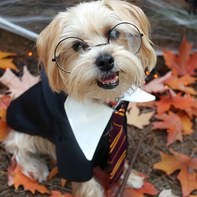 Best 25 harry potter dog costume ideas on pinterest westies 15 of the best diy halloween dog costumes out there solutioingenieria Images