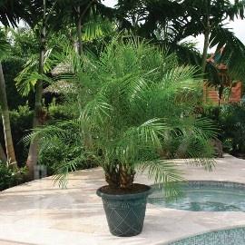 Phoenix Palms And Date Palms On Pinterest