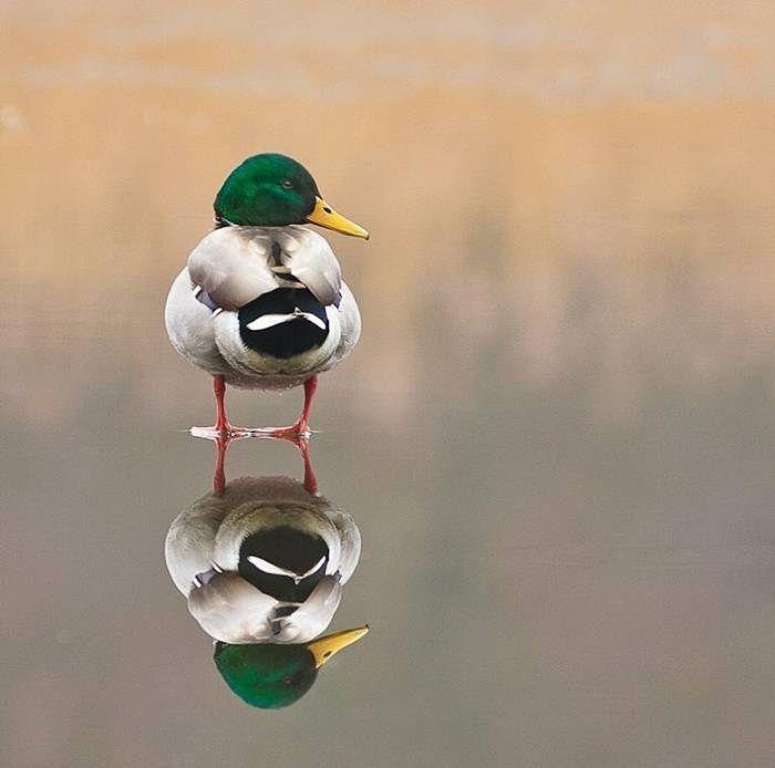 duck: Ducks Geese Swan, Tops Animal Photography 12 Jpg, Birds Birdhouses, Birds Kuslar, Animal Reflection, Ducks Goo, Ducks Ducks, Animal Beautiful, Animal Wildlife