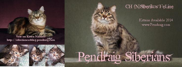 Siberian Kittens for Sale Adoption | CFA & TICA | TX Breeder Pendraig