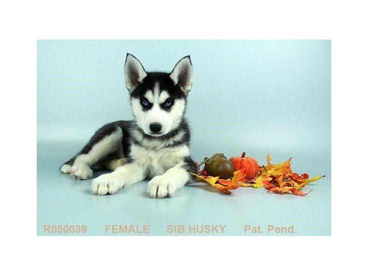 Puppy Photo Gallery - Visit Petland Chillicothe, Ohio!