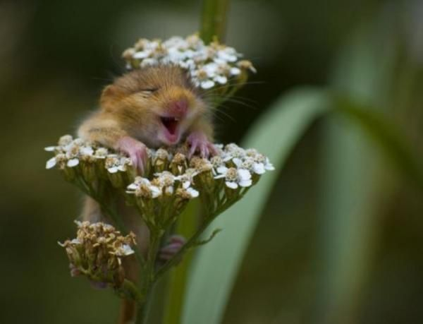baby chipmunk: Mice, Happy Faces, So Cute, Pure Joy, So Happy, Baby Animal, Flower, Socute, Make Me Smile