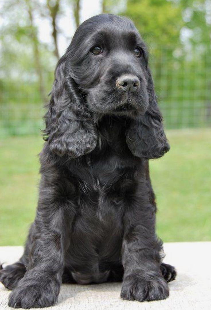 English Cocker Spaniel Pup ~ Classic Look