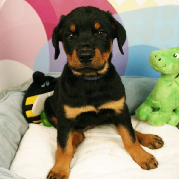 Here S Another Cutie Who Is Available Now Check Out Our Website For More Info Rottweiler Puppies For Sale Rottweiler Puppies Puppies