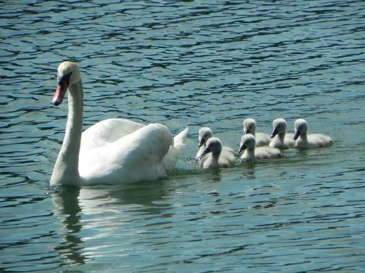The Swan presents calmness and purity.