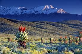 Aloe in full bloom with the snow top #swartberg mountains. Even in winter the #klein #karoo stay a wonderful place to visit.