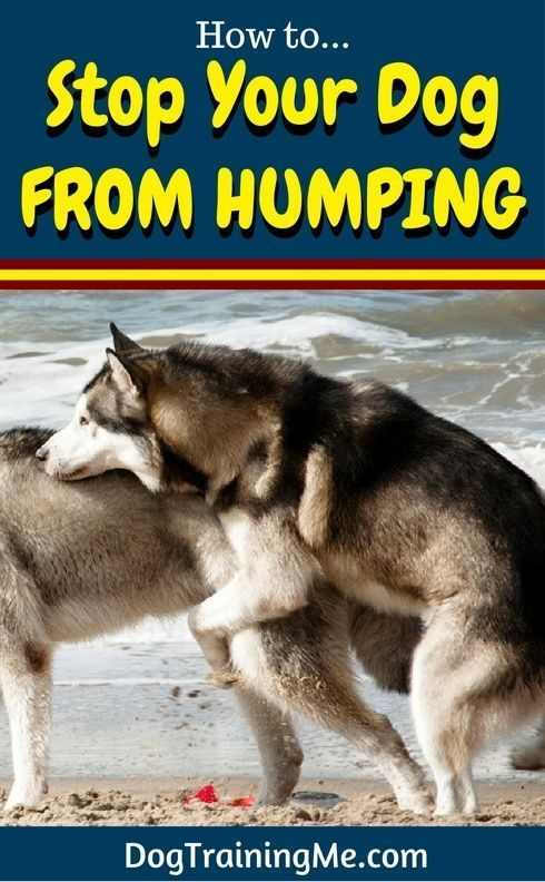 Do you want to know how to stop your dog from humping? Prevent further embarrassment and learn why your dog humps, and some ways you can stop your dog's humping for good in our article! @KaufmannsPuppy