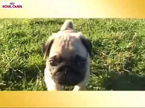 El Carlino, Razas Royal Canin - Mascositas