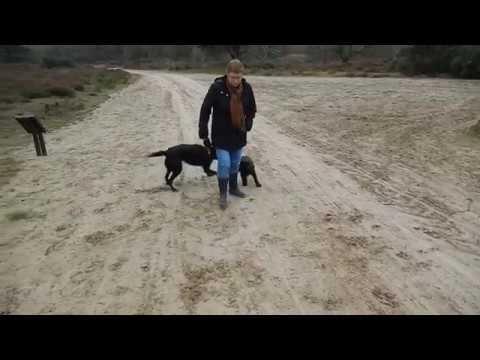 Bruine Labrador pup Dexter in het bos met een nieuw vriendje(cute dog De...