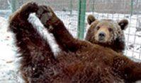 Bear Sanctuary - Zărnești, Romania